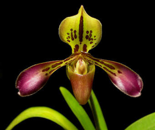 Flask - Paph tigrinum x sib ('Fat Boy' x 'Black Tiger')