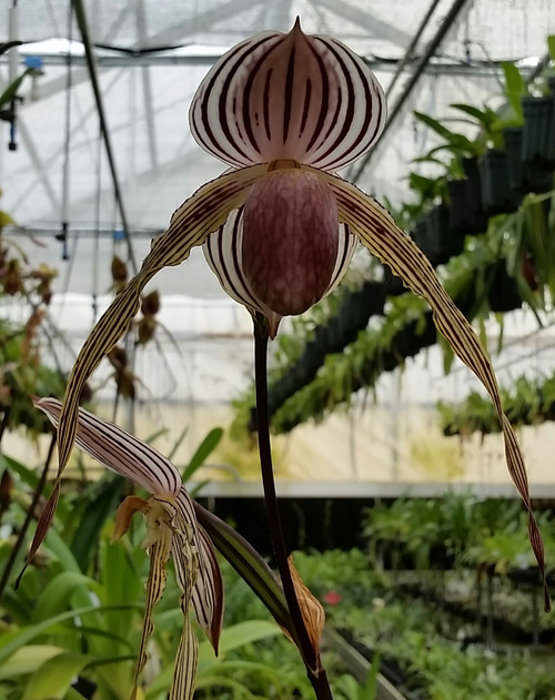 Paph. Lady Isabel 'Jumbo Lady' x Mem. Joan Levy 'Iron Man'