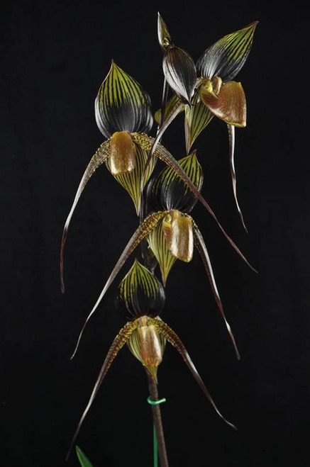 Paph. Lady Isabel 'New Era' x Johanna Burkhardt 'Black Diamond' FCC/AOS