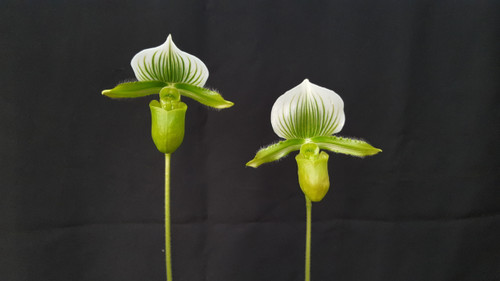 Flask - Paph. lawrenceanum var. hyeanum x sib ('Olive Green' x 'Green Delight' HCC/AOS)