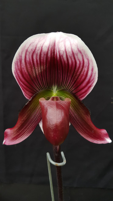 Flask - Paph. callosum 'Vini Dawn' x self