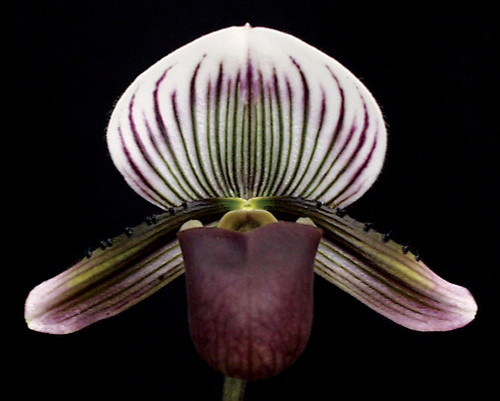 Flask - Paph. barbatum x sib ('Plum' x 'Lady Red')