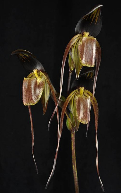 Flask - Paph. Wossner Black Wings 'Black Forest' x adductum var. anitum 'Darkest Night'