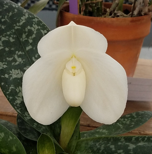 Flask - Paph. bellatulum fma. alba 'Miss White' x self