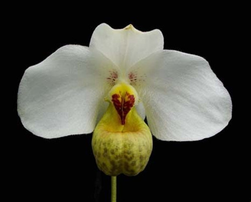Flask - Paph. emersonii x sib ('Pink Brush' x 'Wild Heart')