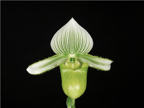 Flask - Paph. hennisianum var. christiansenii x sib ('Wide Smile' x 'Pale Wonder')