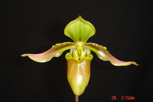 Flask - Paph. amabile 'Wonder World' x self