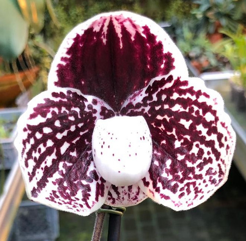 Flask - Paph. leucochilum x sib ('Ruby Swan' x 'Red King')