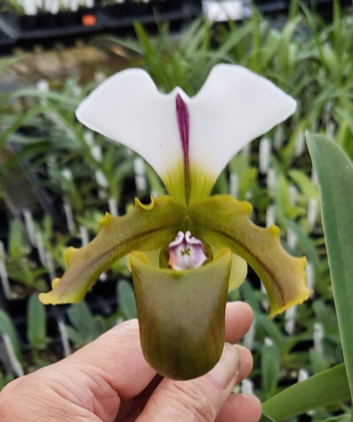 Flask - Paph. spicerianum x sib ('Fat Boy x 'Twin Trails')