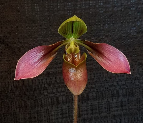 Flask - Paph. appletonianum x sib ('Full Face' x 'Zeon')