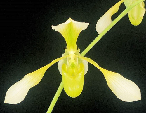 Flask - Paph. Toni Semple fma. album 'Green Glory' x lowii fma.album 'Yellow Dancers'