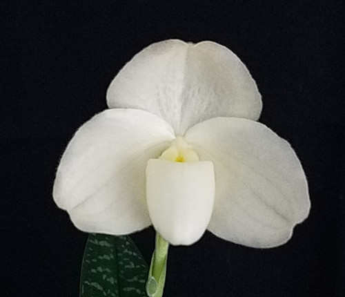 Flask - Paph. In-Charm White 'Ice Cream' x (Quantum Light var alba x concolor var alba) 'Ellipsis'