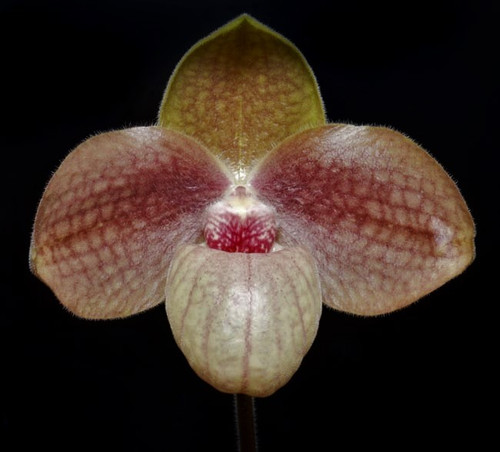 Paph. hangianum hybrids are so popular because most of them have huge flowers with good color! Here we look for flowers similar to Liberity Taiwan but much larger flowers! We have these in bud! Hurry while they last!