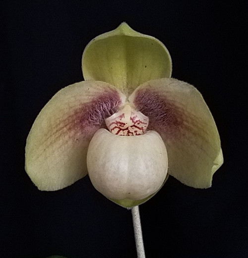 Paph. hangianum 'Magic Red' x self