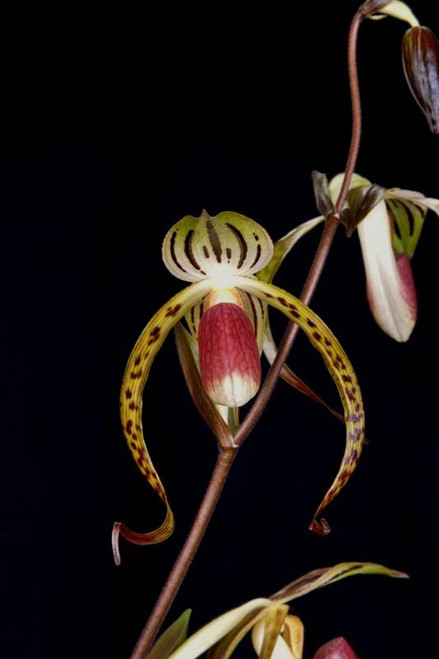 Paph. Memoria Joe Levy 'Dragon Dance' x sanderianum '90+'
