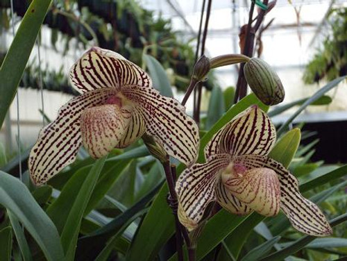 Paph. Mark Hasegawa (concolor 'Full Moon' x rothschildianum 'X-Hot' SSM/JOGA).