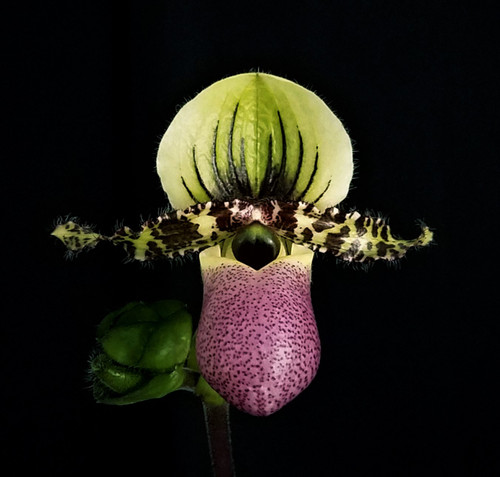 Flask - Paph. chamberlainianum x sib ('Fox Wood' x 'Three Magnificos')