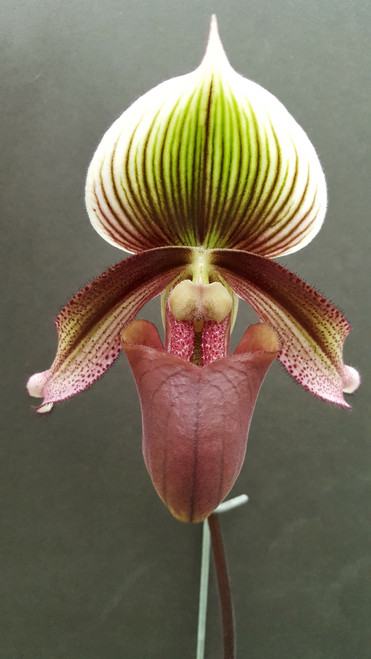 Flask - Paph. superbiens var. curtisii x sib ('Fatty' x 'Velvet')