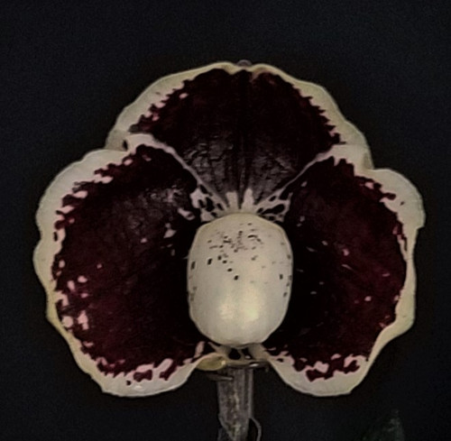Flask - Paph. leucochilum x sib ('Darkest Night' x 'Black Knight')