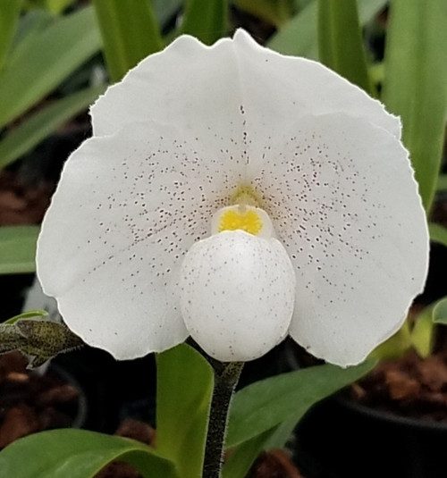 Flask - Paph. niveum x sib ('New Express' x 'Perfect Moon')