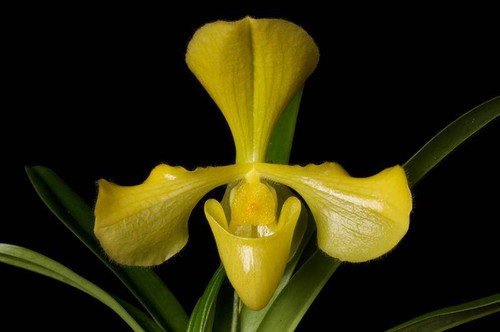 Flask - Paph. villosum fma. aureum x sib ('Bird Song' x 'New Dawn')
