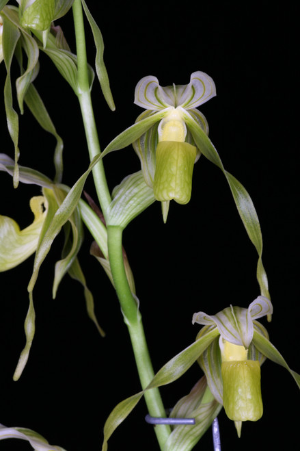 Flask - Paph. kolopakingii f. katheriae (album) 'Albino Beauty' AM/AOS x self