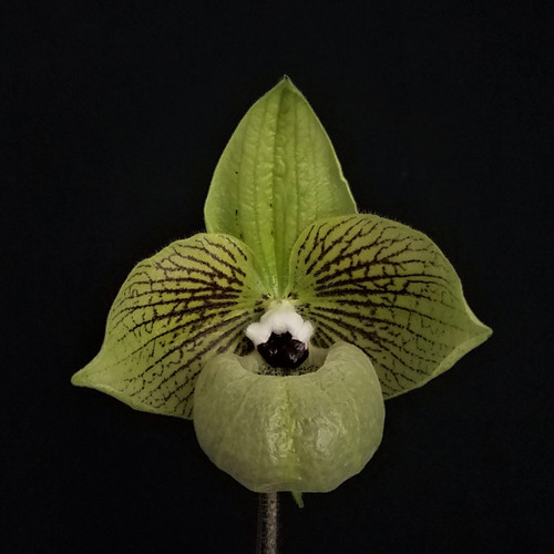 Flask - Paph. malipoense x sib ('Ancient Spider' x 'Sam's Choice' FCC/AOS)