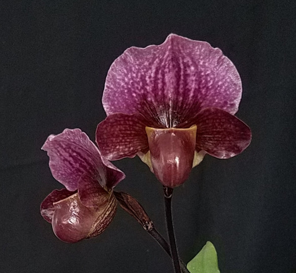 Paph. charlesworthii x sib ('Red Wings' x 'Ruby Red')