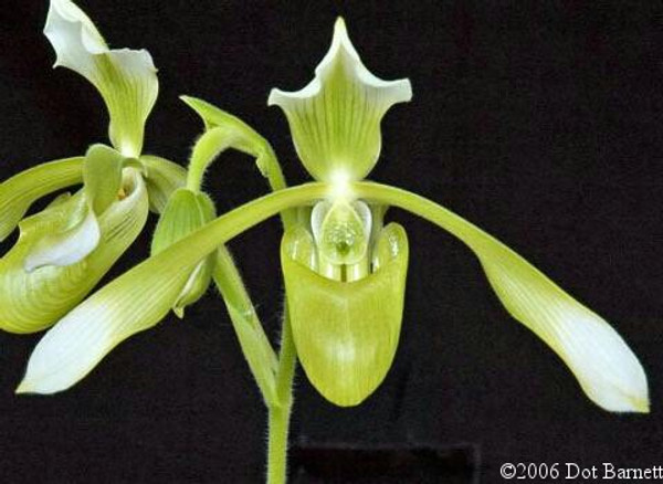 Paph. haynaldianum fma album 'Green Delight' x self - in bud/spike