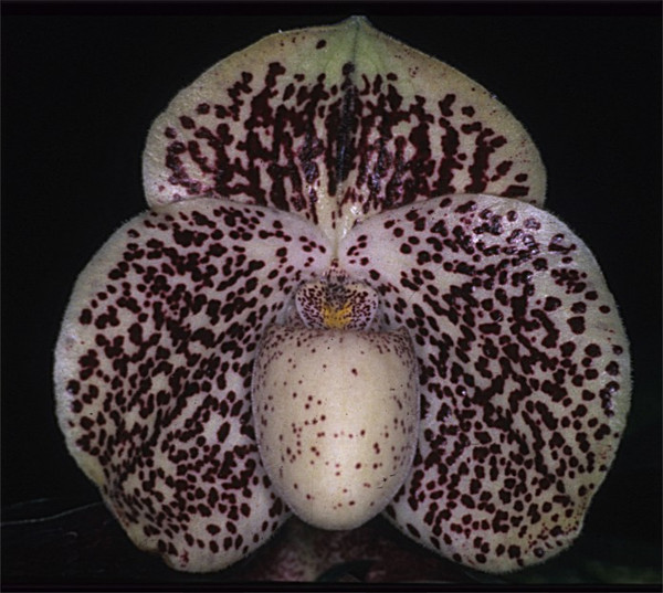 Paph. Bellatino 'Red Bella' x (James Bacon x Tokyo Black Knight) 'Red Pepper'