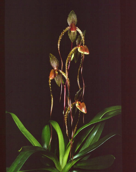 $10 off Near Blooming Size - Paph. Prince Edward of York (sanderianum 'Lady in Red' x rothschildianum 'New Horizon' FCC/AOS)