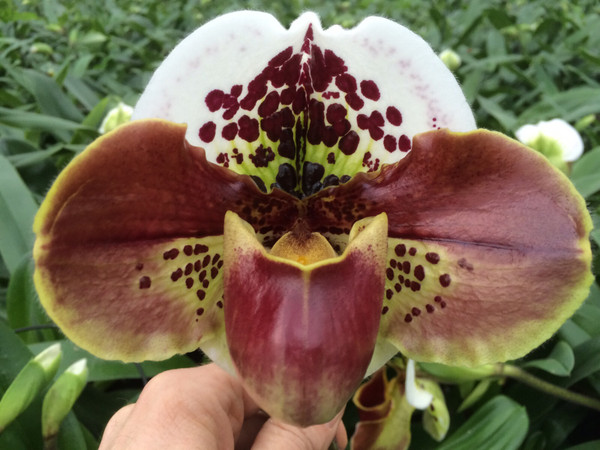 Paph. Big Smile 'Red Petals' x Signature 'Heavy Spots'