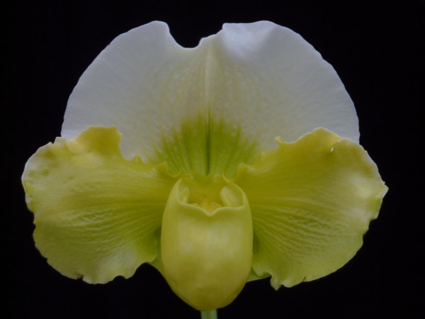 Paph. Stone Lovely 'Green Angel' x (Yosemite Moon x Stone Lovely) 'White Cloud'