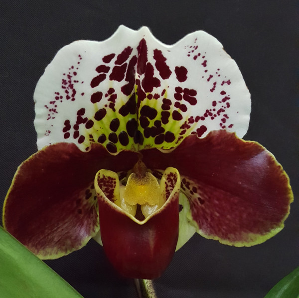 FLASK - Paph. (Lancer x Velet Spot) 'Countess of Burgudy' x  (Velet Spot x Big Smile) 'Count of Burgudy'