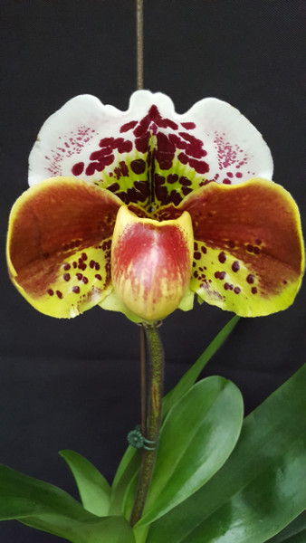 FLASK - Paph. Eye Catcher 'Giant Toad' x (Velet Spot x Big Smile) 'Count of Burgudy'