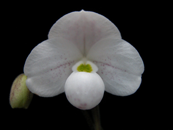 Flask - Paph thaianum 'Double Delights' x (Sorcerer's Stone x Jamboree Knight) 'Green Monster'