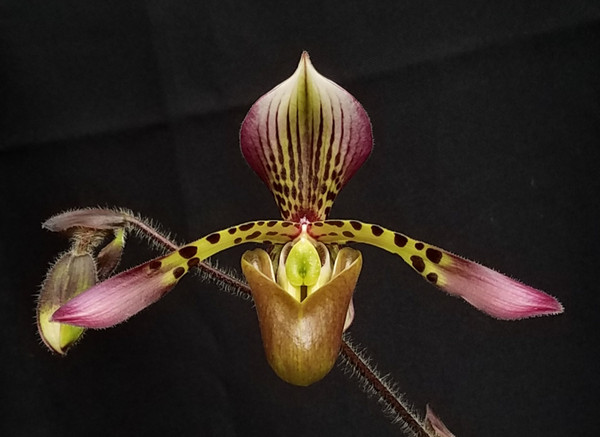 Paph. haynaldianum x sib ('New World' x 'Red Wine')