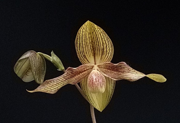 Paph. Alexej (rothschildianum 'Giant Wings' GM/WOC x hangianum 'Red Moon')