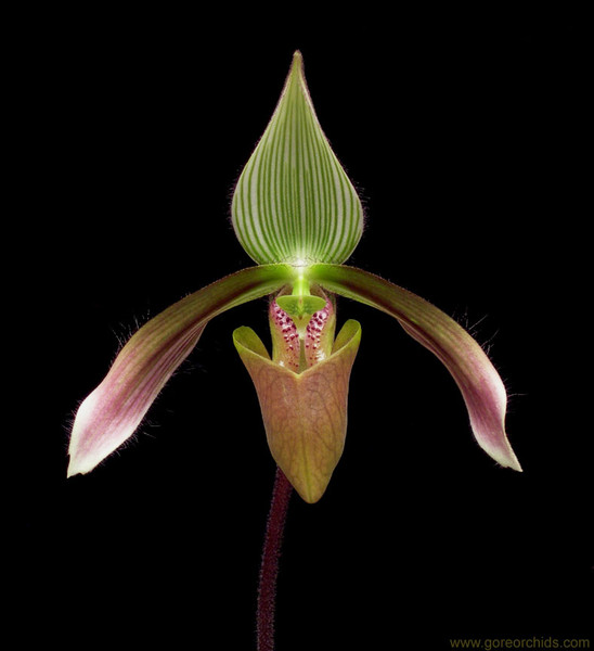 Paph. dayanum x sib ('Wide Wings' x 'Little Giant')