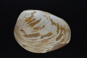 Fossilized clam shell