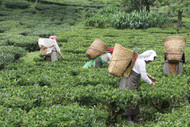 Tea in the Land of Thunder: Field Notes from Darjeeling - a Short Film Presented by Arbor Teas