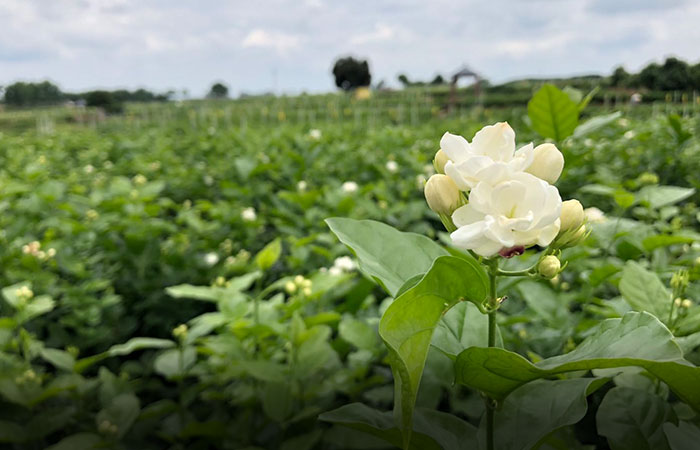 Jasmine Flower in Guizhou Province, China