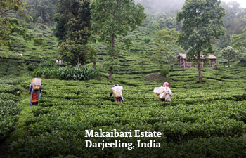 makaibari-estate-darjeeling-india-1.jpg