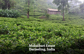 makaibari-estate-darjeeling-india-4.jpg
