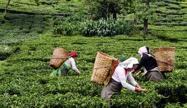 organic-fair-trade-tea-1.jpg