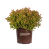 Fire Chief Arborvitae in Branded Pot