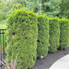 Emerald Green Arborvitae by Sidewalk