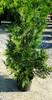 Green Giant Arborvitae 3 Gallon