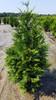 Green Giant Arborvitae Shrub