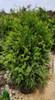 Green Giant Arborvitae Bush